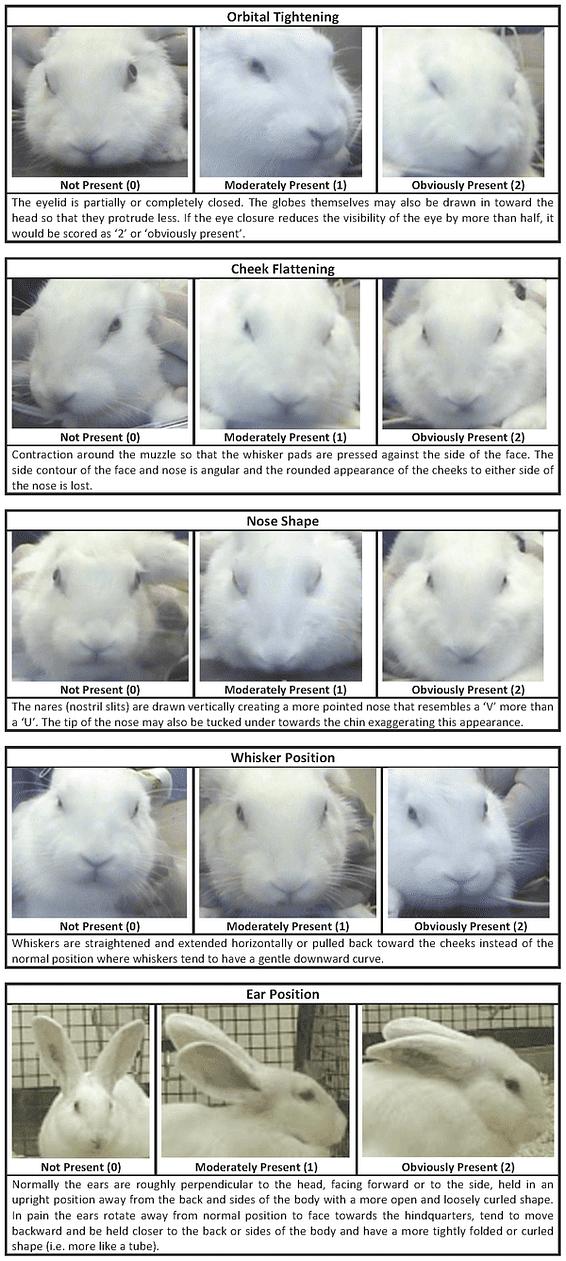 Kaninchen Gesicht