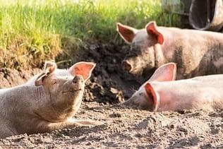 Glückliches Schwein als vegan Grund
