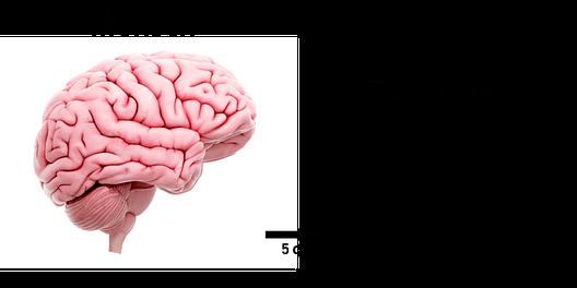 Gehirn Mensch Fliege